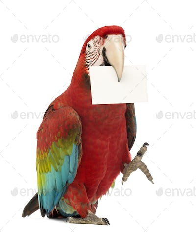 Green-winged Macaw, Ara chloropterus, 1 year old, holding a white card in its beak