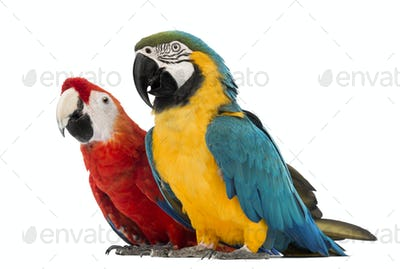 Blue-and-yellow Macaw, Ara ararauna, 30 years old, and Green-winged Macaw, Ara chloropterus