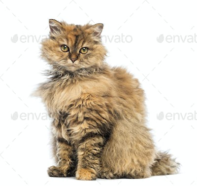Selkirk Rex, 5 months old, sitting and looking at camera against white background