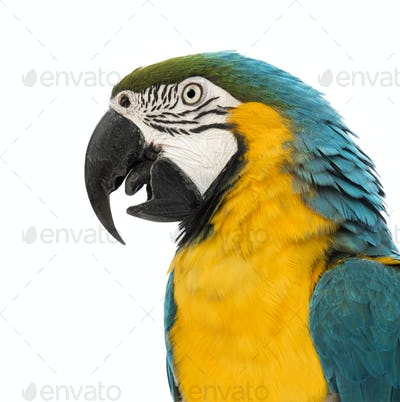 Side view close-up of a Blue-and-yellow Macaw, Ara ararauna, 30 years