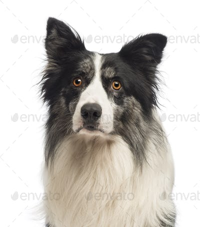 Close-up of a Border Collie, 8.5 years old, in front of white background