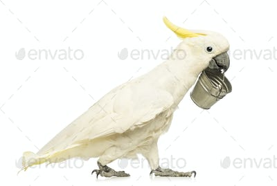 Sulphur-crested Cockatoo, Cacatua galerita, 30 years old, walking and holding a bucket in its beak