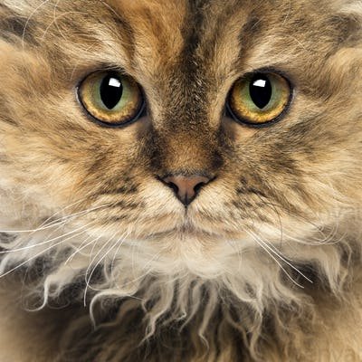 Close-up of a Selkirk Rex, 5 months old, looking at camera