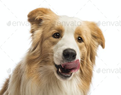Close-up of a Border Collie, 1.5 years old, licking in front of white background