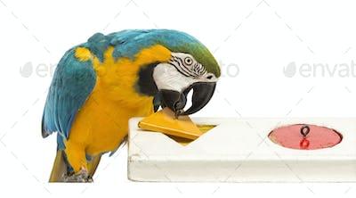 Blue-and-yellow Macaw, Ara ararauna, 30 years old, playing