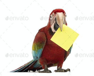 Green-winged Macaw, Ara chloropterus, 1 year , holding a yellow card, a post-it in
