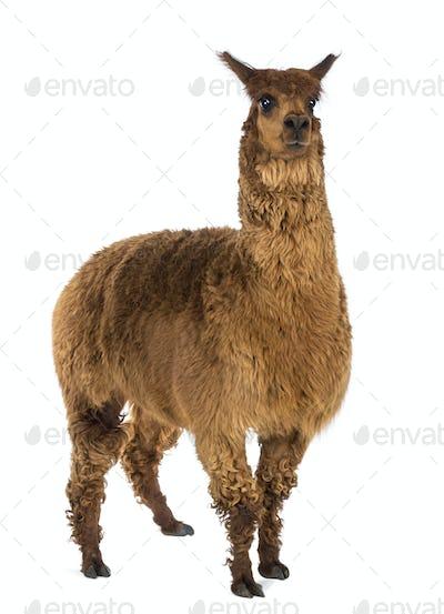 Alpaca against white background