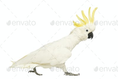 Sulphur-crested Cockatoo, Cacatua galerita, 30 years old, walking