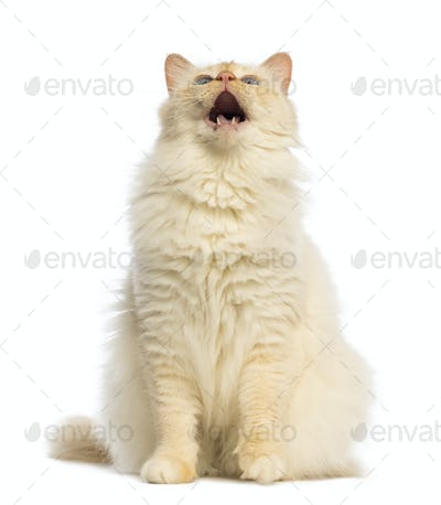 Birman sitting, looking up and meowing against white background
