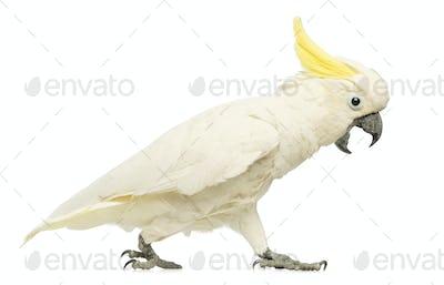 Sulphur-crested Cockatoo, Cacatua galerita, 30 years old, walking with its beak open
