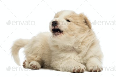 Border Collie puppy, 6 weeks old, lying and barking, yawning in front of white background