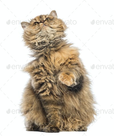 Selkirk Rex, 5 months old, sitting and looking up against white background