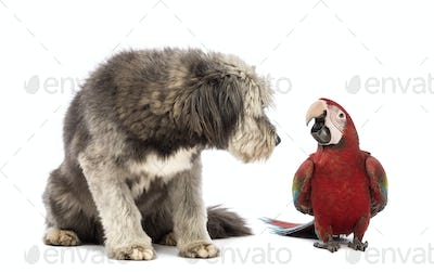 Crossbreed, 4 years old, sitting and looking at a Green-winged Macaw, Ara chloropterus, 1 year