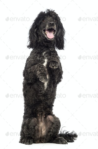 Poodle, 5 years old, in front of white background