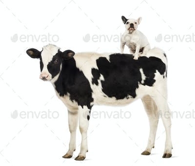 Veal, 8 months old, with a French bulldog sitting on its back in front of white background