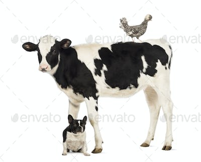 Veal, 8 months old, standing with a Polish chicken standing on its back