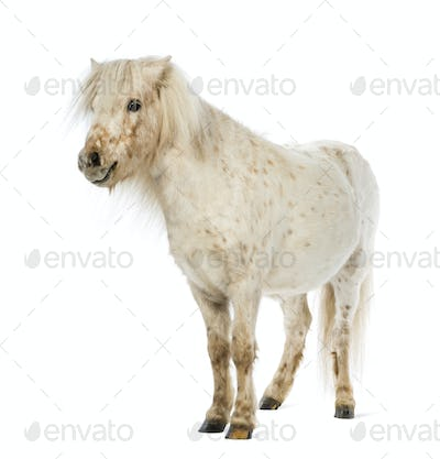 Shetland in front of white background