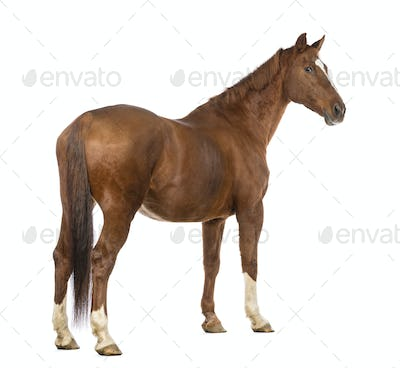 Rear view of a Horse looking back in front of white background