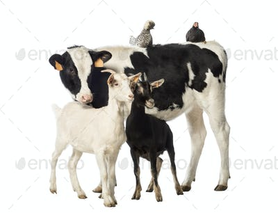 Veal, 8 months old, Polish chicken and a hen lying on its back and two goats standing