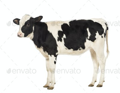 Veal, 8 months old, in front of white background