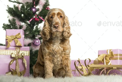 English Cocker Spaniel sitting in front of Christmas decorations against white background