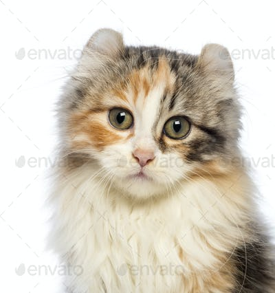 Close-up of an American Curl kitten, 3 months old