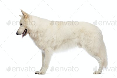 Side view of a Swiss Shepherd dog, 5 years old, looking down in front of white background