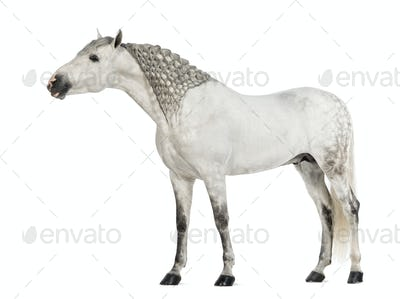 Male Andalusian, 7 years old, Pure Spanish Horse or PRE, with plaited mane and stretching
