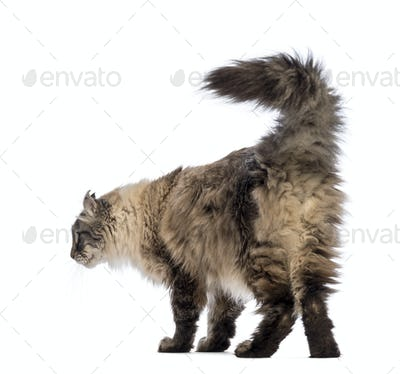 Rear view of an American Curl looking away in front of white background
