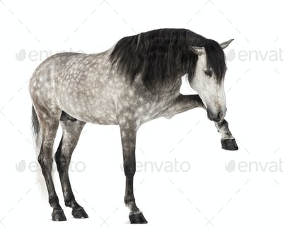 Andalusian raising front leg, 7 years old, also known as the Pure Spanish