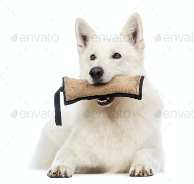 Swiss Shepherd dog, 5 years old, lying and holding a toy in its mouth in front of white background
