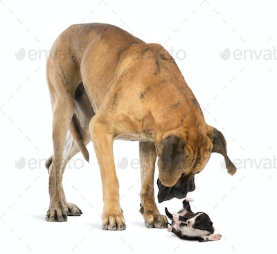 Great Dane looking at a Bearded Collie puppy rolling over, isolated on white