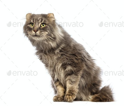 American Curl sitting and looking up in front of white background