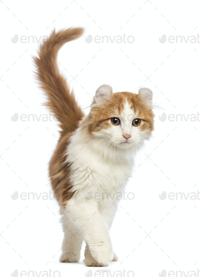 American Curl kitten, 3 months old, walking in front of white background