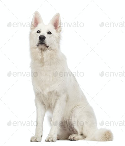 Swiss Shepherd dog, 5 years old, sitting and looking up in front of white background