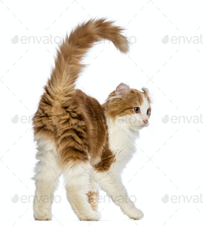 Rear view of an American Curl kitten, 3 months old, in front of white background