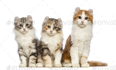 Three American Curl kittens, 3 months old