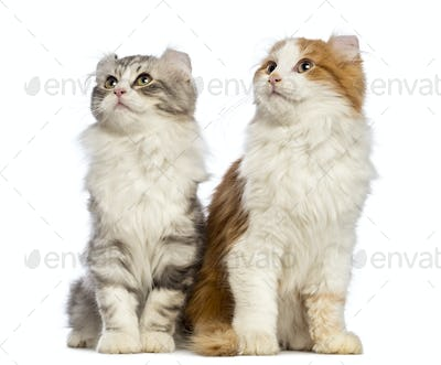 Two American Curl kittens, 3 months old, sitting and looking up in front of white background