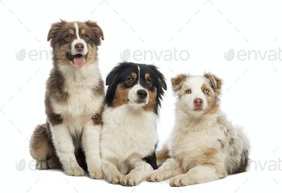 Group of Australian Shepherd lying and sitting, isolated on white