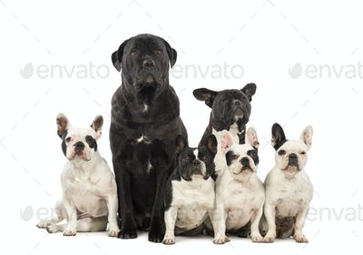 French Bulldog and Crossbreeds sitting in front of white background