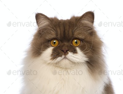 Close-up of a British Longhair, 10 months old, looking at the camera in front of white background