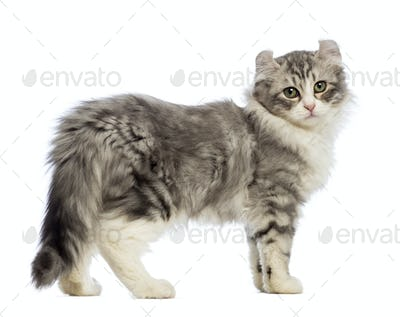 Side view of an American Curl kitten, 3 months old
