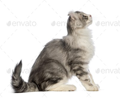 Side view of an American Curl kitten, 3 months old, sitting