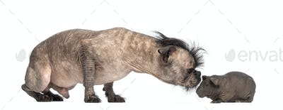Hairless Mixed-breed dog, French bulldog and a Chinese crested dog, sniffing a hairless guine