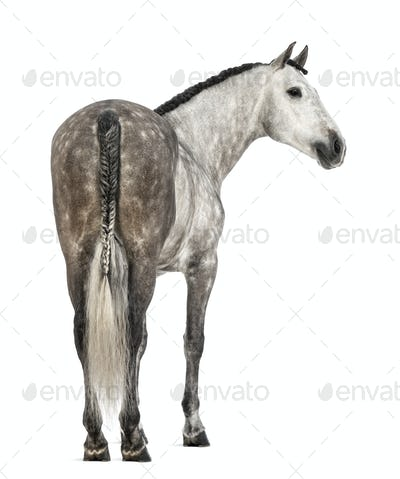 Rear view of an Andalusian, 7 years old, looking right, also known as the Pure Spanish Horse