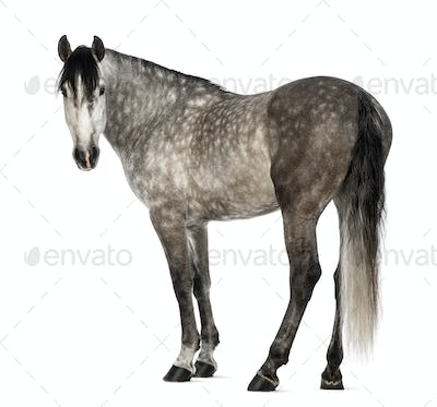 Andalusian, 7 years old, looking at camera, also known as the Pure Spanish Horse