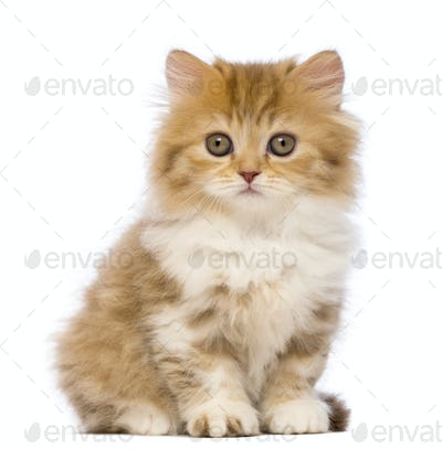 British Longhair kitten, 2 months old, sitting
