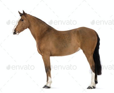 Side view of a Female Andalusian, 3 years old, also known as the Pure Spanish Horse