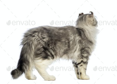 Side view of an American Curl kitten, 3 months old, and looking away in front of white background