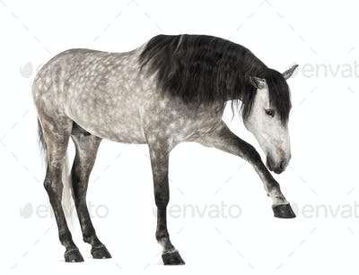 Andalusian raising front leg, 7 years old, also known as the Pure Spanish Horse
